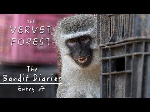 Wild Vervet Monkeys and Emily's Screaming Baby - Bandit