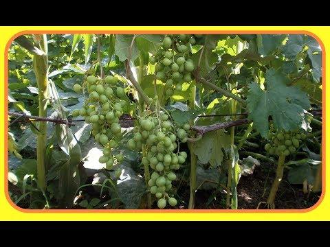 Виноград .Талисман ( Кеша- 1 ) Опыление