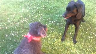Poodle+labrador, Dog Language 1/4 Speed, Calming Signals & Play