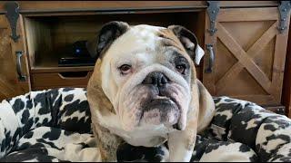 Reuben the Bulldog: Apologies to Roo