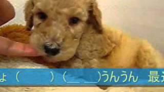 子犬のお部屋(ブリーダー)生まれのスタンダードプードル 2012年1月21日生ま...