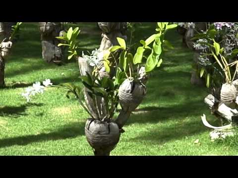 Мальдивы. Как растут орхидеи на Мальдивах. Дивный, райский сад орхидей. Цветы