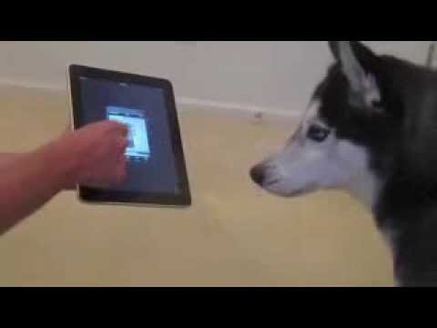 Husky Dog Sings With Ipad Better Than Bieber Now On Itunes