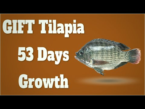 GIFT Tilapia Farming In Biofloc System Growth Update 3 - After 53 Days Of Culture
