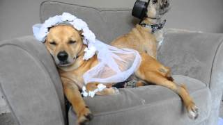Thai Bride Dog Wedding Pt 1