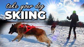 Dog SKIJORING   Dog Skiing Gear   How to Ski with my Dog   Best Winter Dog Sport