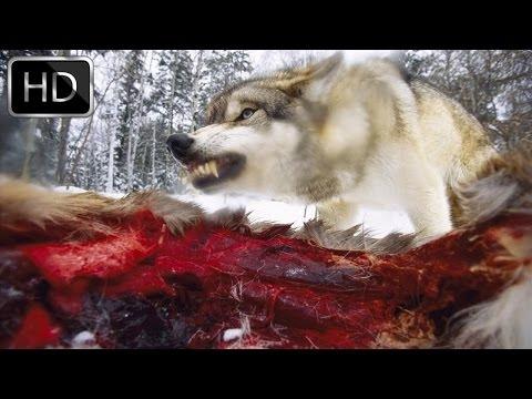 Coywolf: New dog-coyote-wolf hybrid - National Geographic Documentary