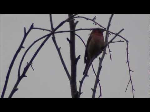 Как называется птичка с красной грудкой похожая на воробья