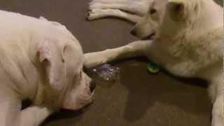 American Bulldog Vs German Shepherd Funny Faceoff