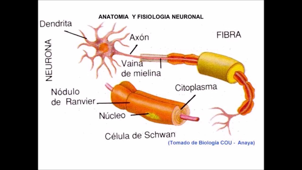 LA NEURONA Y EL ESTÍMULO DE LA CONTRACCIÓN MUSCULAR - YouTube