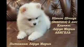 Абигель (слайд-шоу 2 мес.) Щенок Шпица
