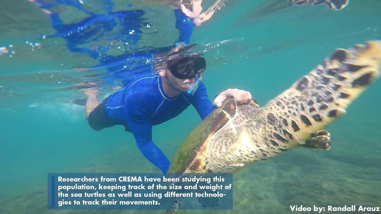 26130e72a0d6 Hawksbill Sea Turtle Research in Costa Rica - Open Explorer