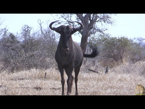 "Funny Animal Meet The Wild Wildebeest - AKA ""Gnu"""