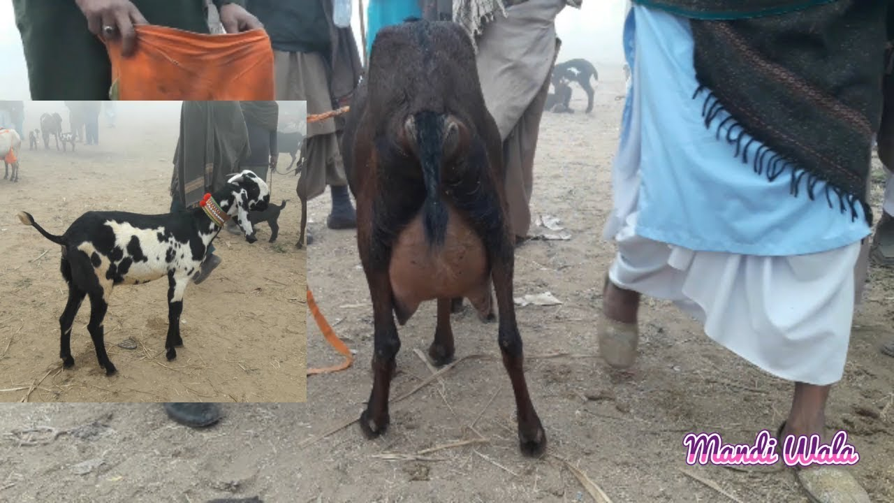 316 | NAGRA GOAT FOR RS  55,000 WITH MALE KID - FAISALABAD