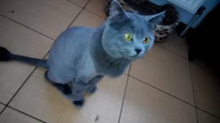 последствия стрижки кота. Британский потц часть первая