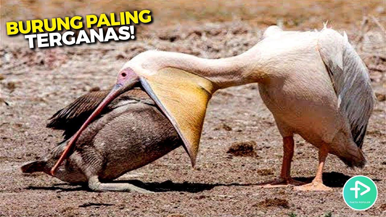 Jangan Macam-macam ama Burung Ini, Nampak Biasa Aja Padahal Ternyata Hewan ini Sangat Berbahaya!