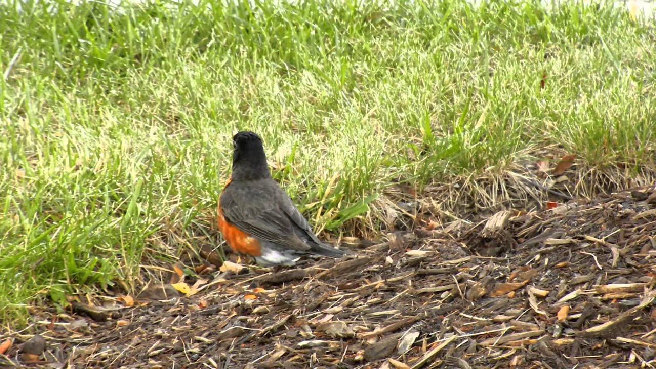 American Robin Male And Female Httpwwwgeochembiocom -9345