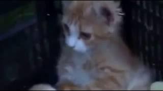 Котенок и цыплята)