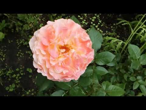 Розовый сад продолжается🌹🏡💮☺😉.Приглашаю в гости!  #мойсад2019июнь