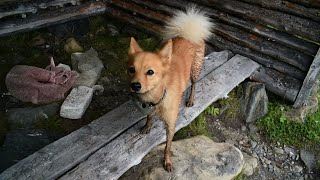 Finnish Spitz on a mountain trail