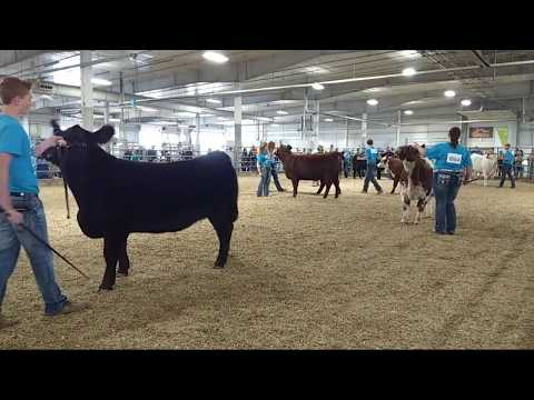 2017 Lancaster County Super Fair - 4-H/FFA Beef Show (already in progress)