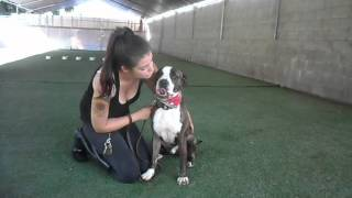 Dexter - Very Well Obedience Trained Boxer Mix Loves To Kiss And Play Ball Needs Home
