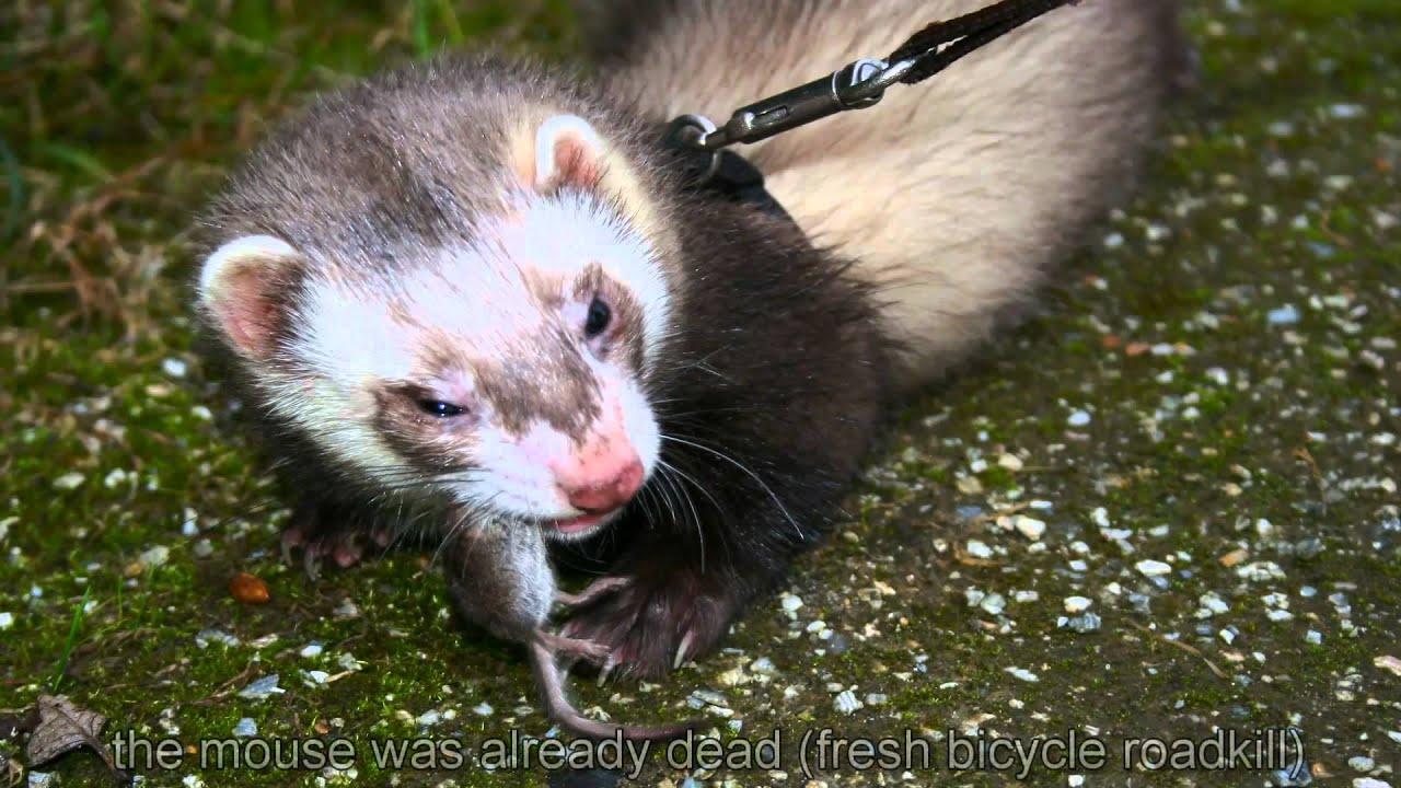 V Mouse Eating Scene ferret eating a real m...