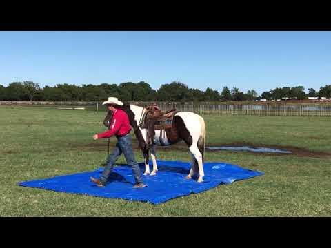 Rocky- Mozaun McKibben Performance & Versatility Horses