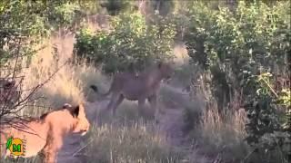 Tenacious Buffalo Bull Survives Lion Attack