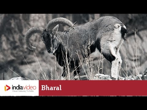 Bharal – the goat-antelope of Himalayas