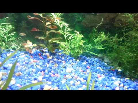 29 gal lightly planted Red Jewel cichlids