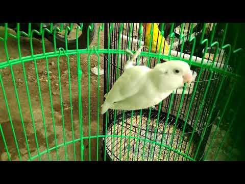 Lovebird Albino MH 900 rb dibayar cash