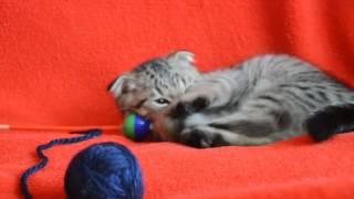видео Вислоухая кошка пятнистый табби