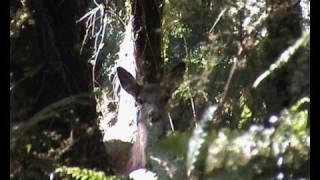 Deer Hunting West Coast New Zealand