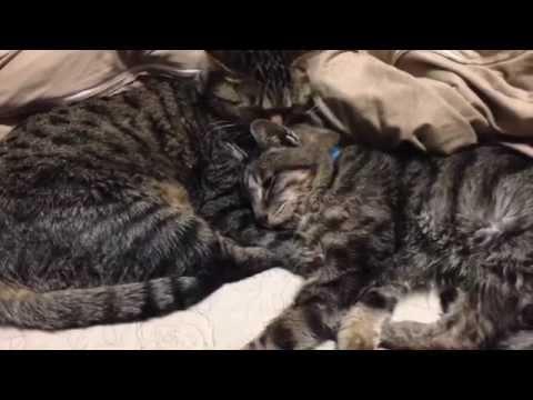 Shonen Knife 「Like A Cat」 日本語バージョン