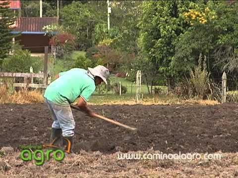 Cultivo de frijol parte uno youtube for Sembrar maiz y frijol juntos