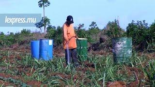 Fermiers et planteurs largement affectés par le manque d'eau