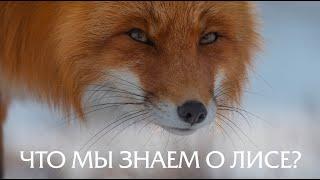 Про нахабній рудій морді. Лисиці. Дика природа Росії//PRIRODA SHOW.