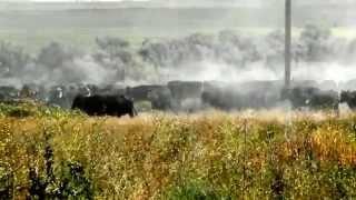 Cowboys & Cowgirls Driving Cattle Dietrich Idaho