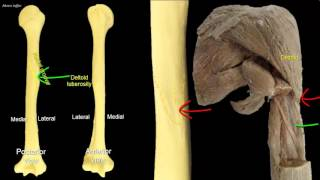 Osteology of the humerus