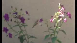 Hummingbird on balcony sipping at Nicotiana and Salpiglossus