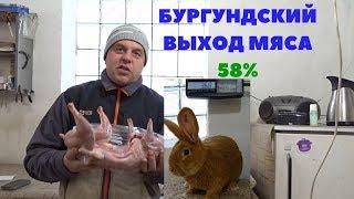 Убойный выход мяса бургундского кролика в 110 дней