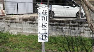 H31 桜 津保川桜 (荘川桜2世) No.45~64 品種名 アズマヒガンザクラ H19.11.11植樹 20190331 AM11:00撮影