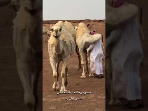 نتيجة بحث الصور عن بالفيديو .. شاهد كيف استقبلت ناقة صاحبها بعد غياب 3 أيام !