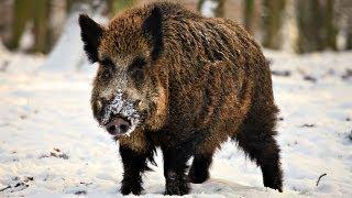 Repeat youtube video Hunting Giant Wild Boar in Hungary