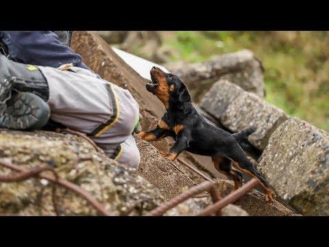Deutscher Jagdterrier Welpe Gustl, 9.-13. Woche, Rettungshundetraining Trümmer