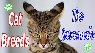 CAT BREEDS (The Savannah) Identify Top 10 Longest Living Cats & Kittens info