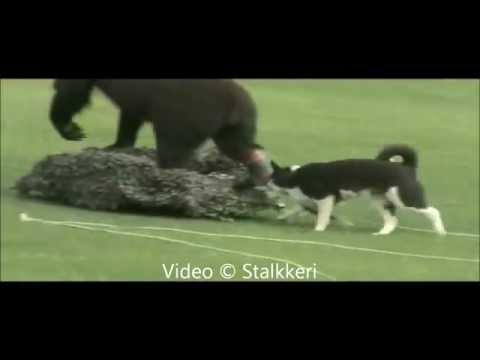 Karelian Bear Dog II | 1080p