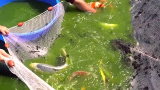 Japanese Koi Harvest *FULL With Colorful Fish