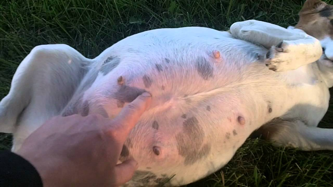 my pregnant beagle - YouTube